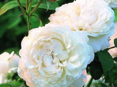 Albas roze