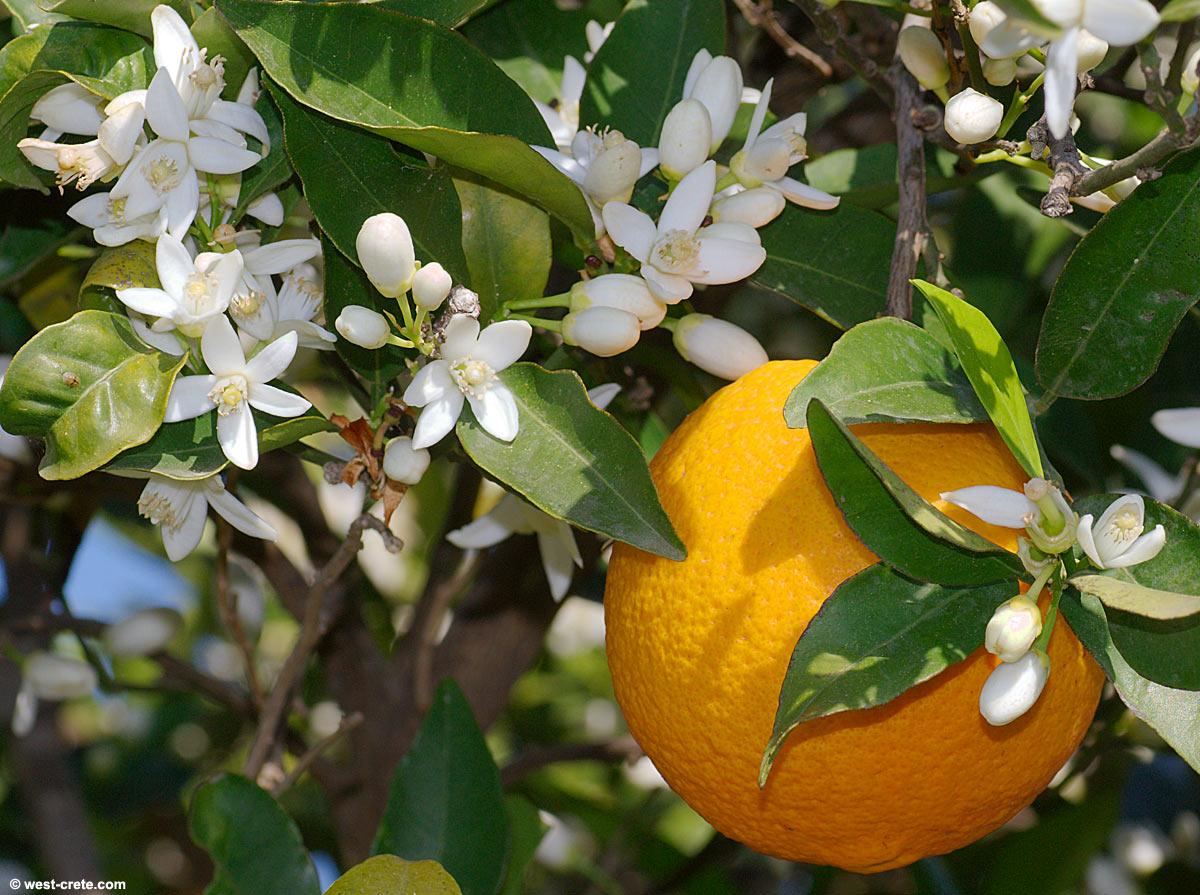 Apelsīnu ziedi