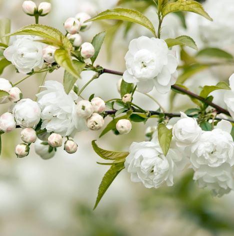 Baltie ziedi