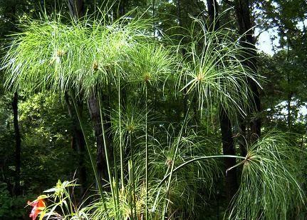 Papiruss