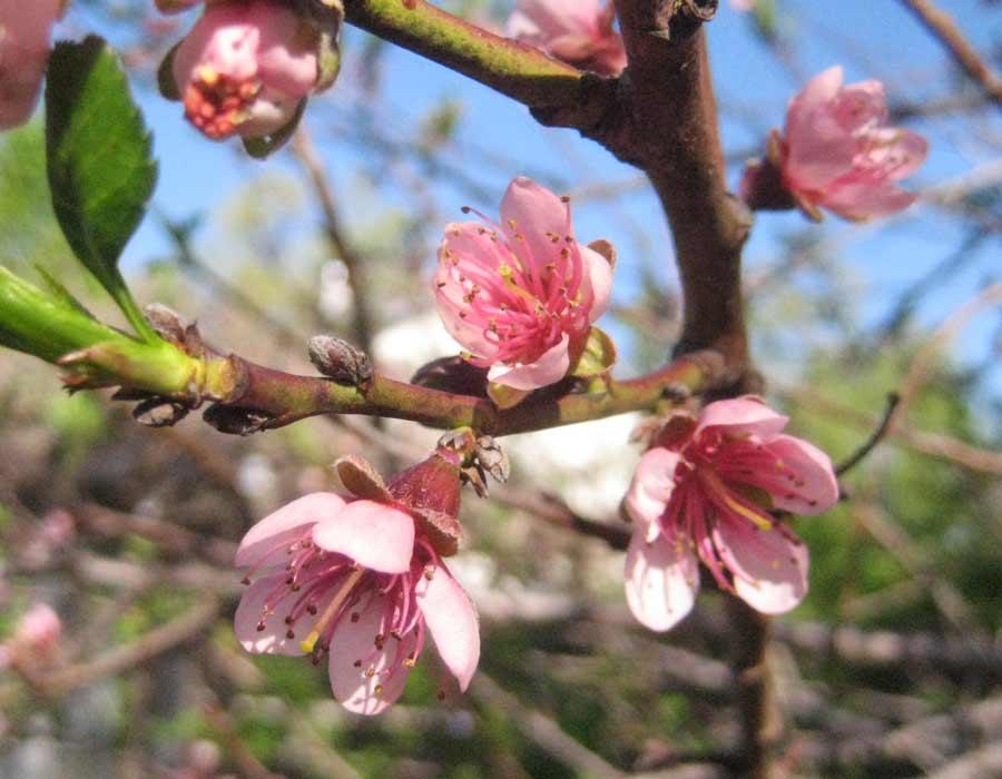 Persiku ziedi