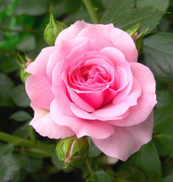 Turku roze